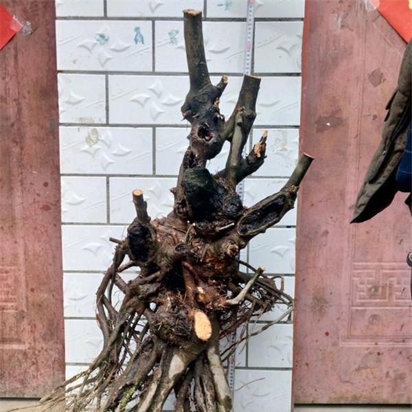 青檀下山桩-- 陕西汉中远大苗木场
