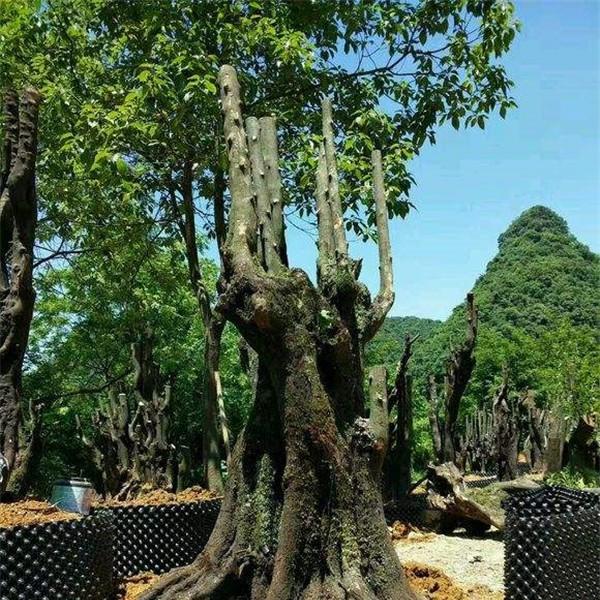 金弹子下山桩-- 陕西汉中远大苗木场