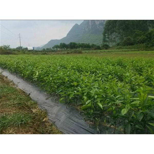 果树苗-- 优质葡萄苗基地