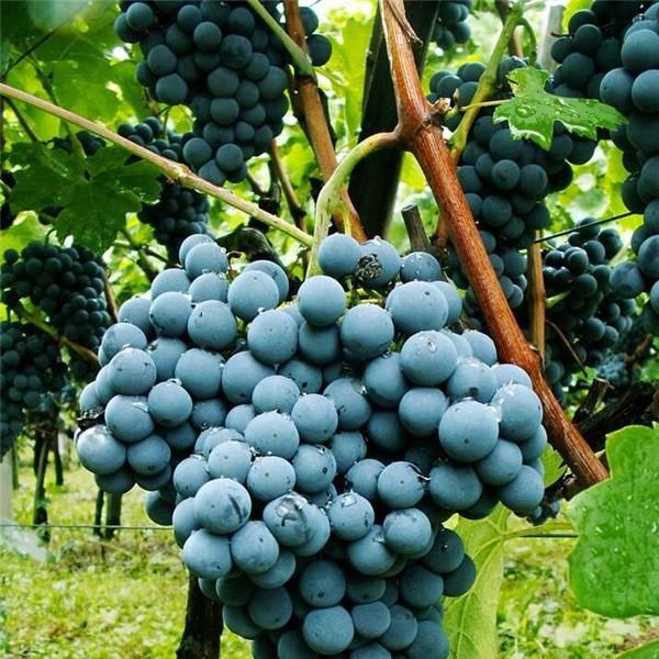 西拉-- 优质葡萄苗基地