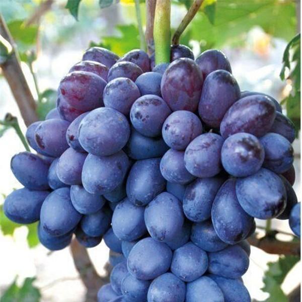紫甜无核-- 优质葡萄苗基地