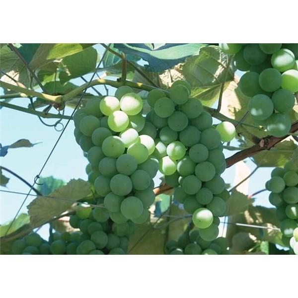 香妃-- 优质葡萄苗基地