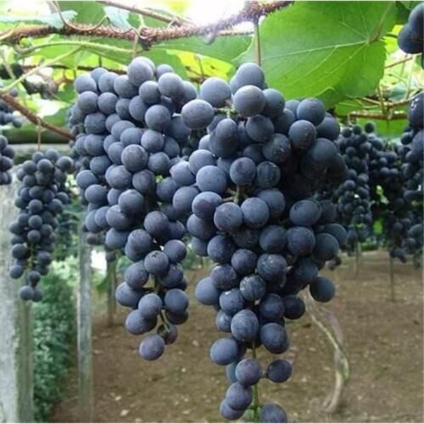 早黑宝-- 优质葡萄苗基地