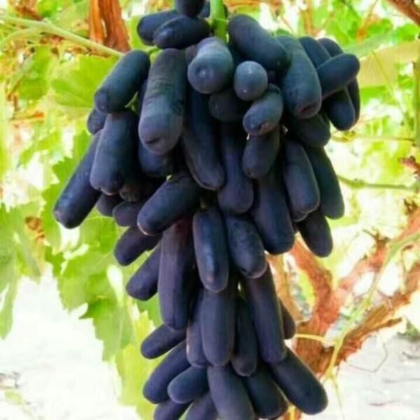 甜蜜蓝宝石-- 优质葡萄苗基地