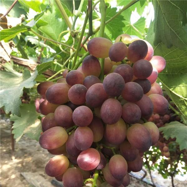 红吧拉多-- 优质葡萄苗基地