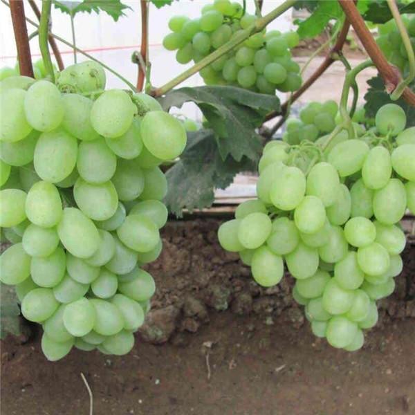 维多利亚-- 优质葡萄苗基地