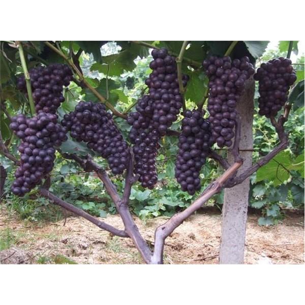 夏黑-- 优质葡萄苗基地