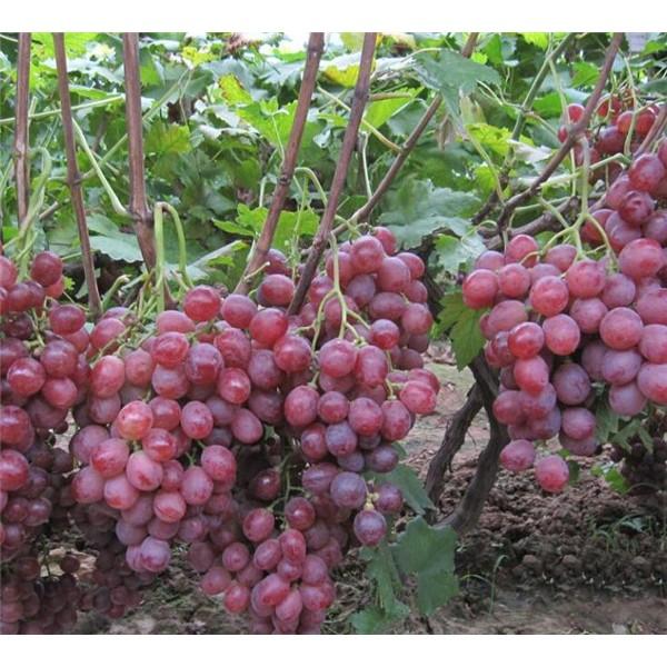红提-- 优质葡萄苗基地