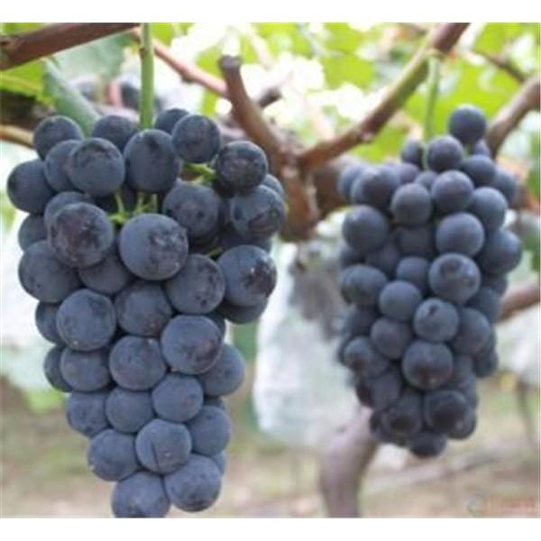 葡萄-- 优质葡萄苗基地