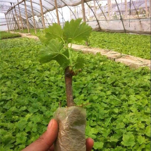 营养袋葡萄苗-- 优质葡萄苗基地