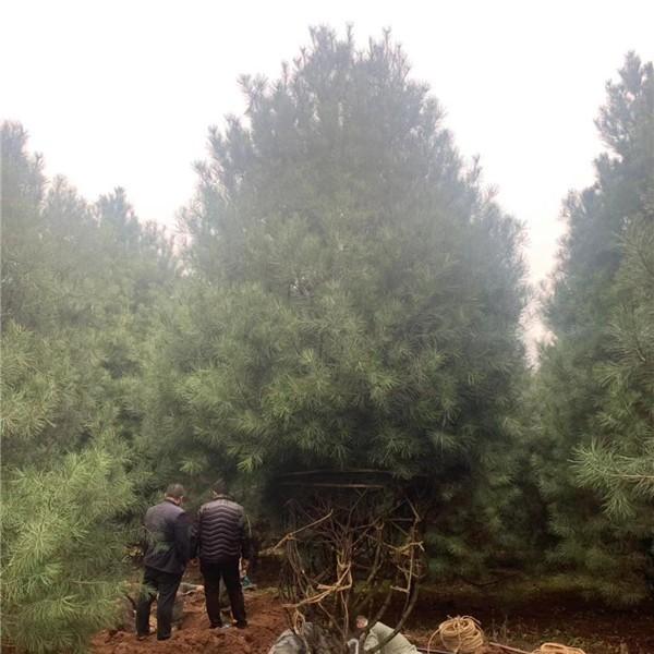 1.5米白皮松-- 宝林苗圃