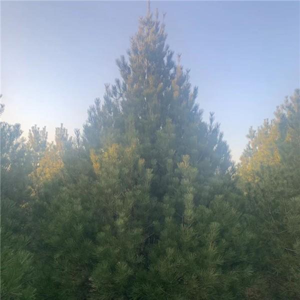 4.5米白皮松-- 宝林苗圃