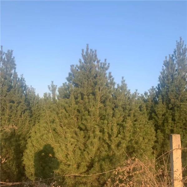 4米白皮松-- 宝林苗圃