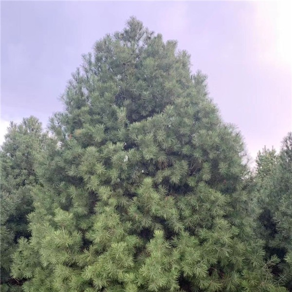 6米白皮松-- 宝林苗圃