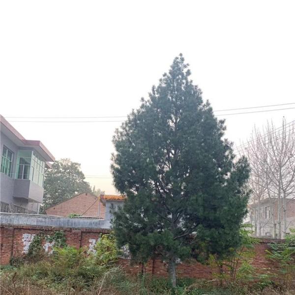 8米白皮松-- 宝林苗圃