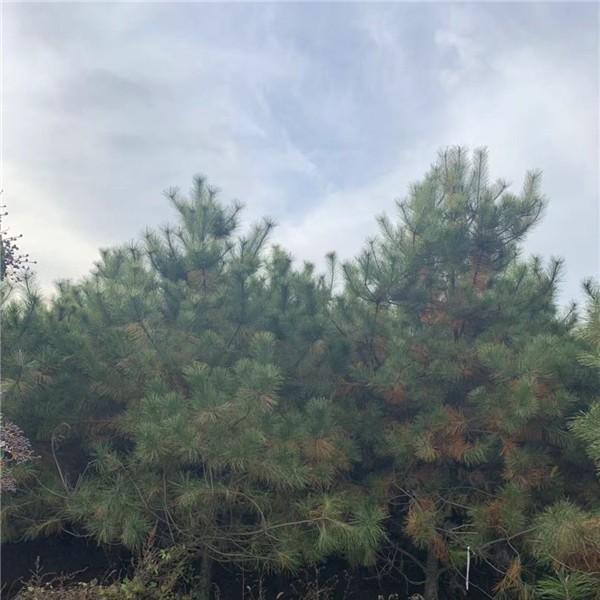 4米油松-- 宝林苗圃